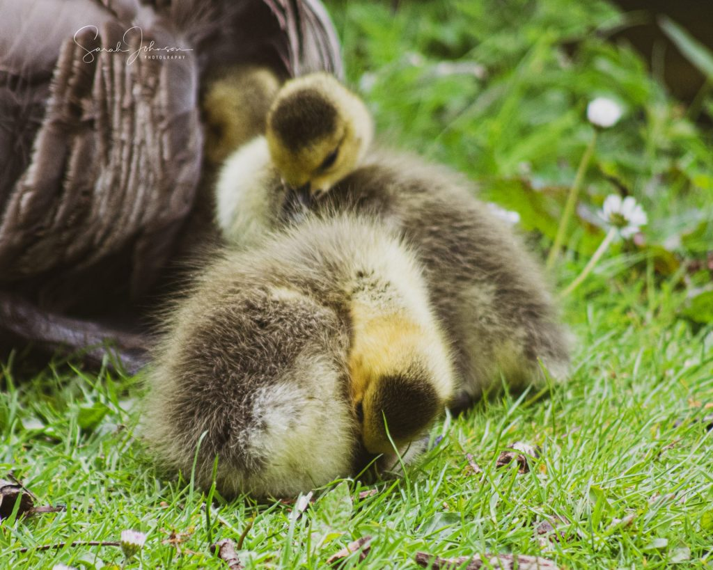 duckings, nature photography, sarah johnson photography, photographer near me